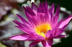 Purpere waterlelie (close-up) Royalty-vrije Stock Fotografie