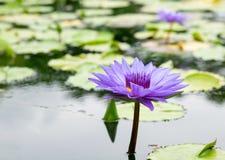 Purpere waterlelie in een vijver bij Botanische tuin stock foto