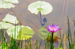 Purpere waterlelie en lotusbloembladeren op water Stock Afbeelding