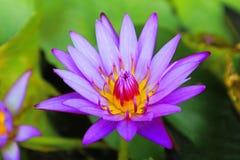 Purpere Waterlelie/Purpere Lotus Flower stock afbeeldingen