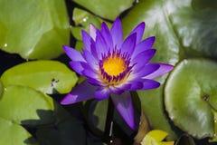 Purpere waterlelie, Nymphaea-nouchali Royalty-vrije Stock Foto