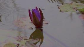 Purpere waterlelie in regen stock videobeelden