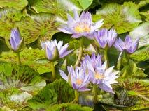 Purpere waterlelies Royalty-vrije Stock Afbeelding