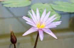 Purpere Waterlily-Bloem Stock Foto's