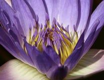 Purpere waterlily macro Royalty-vrije Stock Afbeelding
