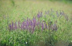 Purpere wijze bloemen in de weide. Royalty-vrije Stock Foto's