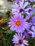 Purpere wilde bloem royalty-vrije stock afbeeldingen
