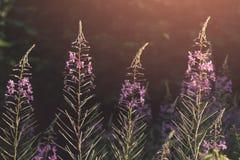Purpere wilde bloemachtergrond bij zonsondergang royalty-vrije stock foto