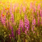 Purpere wilde bloemen Royalty-vrije Stock Afbeeldingen