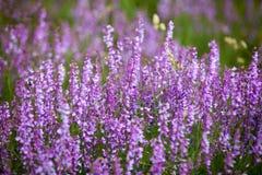 Purpere wilde bloemen Royalty-vrije Stock Foto's