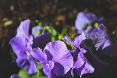 Purpere wilde bloemen die op gebied in Nieuw Zeeland groeien stock fotografie
