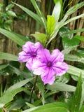 Purpere wilde petunia Stock Foto's