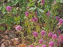 Purpere Wildflowers door Roosevelt Lake Royalty-vrije Stock Foto