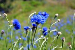 Purpere wildflowers op een gebied Stock Foto