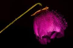 Purpere Winecup-bloem met waterdruppeltjes tegen zwarte achtergrond royalty-vrije stock afbeelding