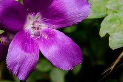 Purpere Winecup (callirhoe involucrata) open met Meeldraad en opiniepeiling stock foto