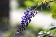 Purpere wisteria die in tuin, de zomertijd in Polen bloeien royalty-vrije stock afbeeldingen