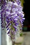 Purpere wisteriabloem in de lente Stock Foto's