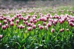 Purpere witte Tulpen royalty-vrije stock afbeelding