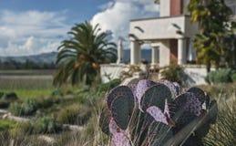 Purpere Woestijncactus over de Wijngaard van Californië royalty-vrije stock afbeeldingen