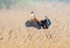 Purperreiger, Purple Heron, Ardea purpurea stock image