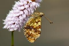 Purperstreepparelmoervlinder, Lesser Marbled Fritillary. Purperstreepparelmoervlinder / Lesser Marbled Fritillary (Brenthis ino stock image