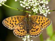 Purperstreepparelmoervlinder, Lesser Marbled Fritillary. Purperstreepparelmoervlinder / Lesser Marbled Fritillary (Brenthis ino stock photography