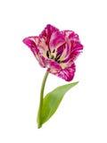 Purpl frędzlasty tulipan Zdjęcia Royalty Free