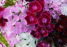 Purpl lilas floral de floraison de fleur de flore violette de fleur de couleur verte de beauté d'été de pétale plan rapproché nat images libres de droits