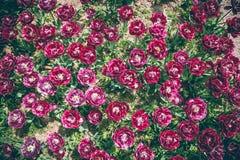 Purpl tulpanblommor fotografering för bildbyråer