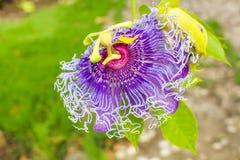 Purpla kwiat Fotografia Stock