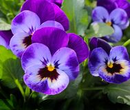 Purple 3 Petaled Flower Stock Images