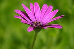 Purple. Detailed image of a purple flower royalty free stock images