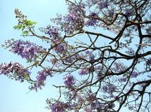 Purple Jacaranda tree flowers. Purple Bignoniaceae flowers, family Bignoniaceae. Native to  Mexico, Central America, South America, Cuba, Hispaniola, Jamaica and Royalty Free Stock Photos