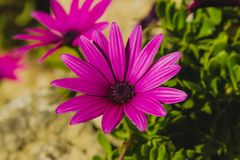 Purple african daisies royalty free stock photo