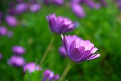 Purple African Daisy Bush Meadow In Bloom Stock Images