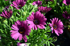 Purple African daisy. Purple African daisies blooming in the sunny day Stock Images
