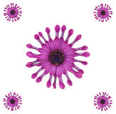 Purple African Daisy Design Stock Image