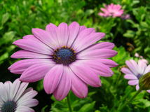 Purple African Daisy Flower Royalty Free Stock Image