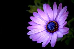 Purple African Daisy in garden Osteospermum Ecklonis on blac