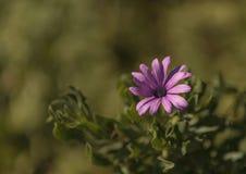 Purple African daisy, Osteospermum Ecklonis Stock Photography