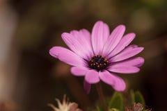 Purple African daisy, Osteospermum Ecklonis Royalty Free Stock Photo