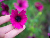 Purple African Daisy, Osteospermum Ecklonis. Purple African Daisy  Osteospermum Ecklonis  in a hand, Green Leaf Background Stock Photography