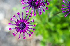 Purple African Daisy or Osteospermum flower against natural green background Royalty Free Stock Images