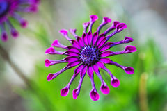 Purple African Daisy or Osteospermum flower against natural green background Royalty Free Stock Image