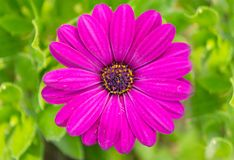 Purple African Daisy. On green background stock photo