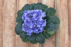 Purple African Violet (Saintpaulia) on Wooden Background, Top Vi Stock Photo
