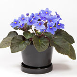 Purple African Violets Stock Photography