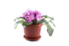 Purple African Violets on a white background Stock Images