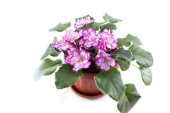 Purple African Violets on a white background Royalty Free Stock Photo